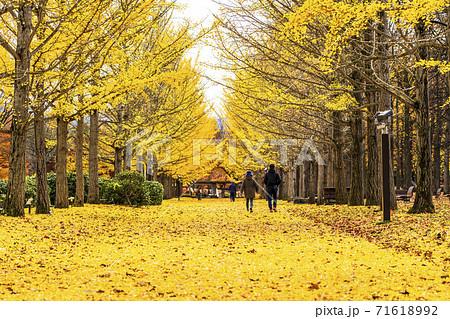 山形県総合運動公園のいちょう並木 落ち葉のじゅうたん 山形県天童市  71618992
