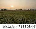 植物 そば そばの花 71630344