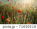 花 赤 ケシ 71630518