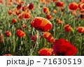 花 赤 ケシ 71630519