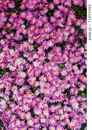 小さなピンク色のたくさんの菊の花 71653403