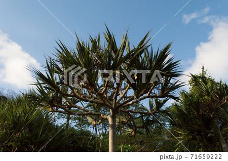 青空とジャングルに生育するタコノキ 71659222