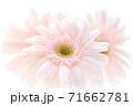 淡いピンクのガーベラ 71662781