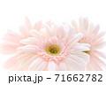 淡いピンクのガーベラ 71662782