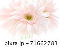 淡いピンクのガーベラ 71662783