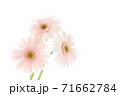 淡いピンクのガーベラ 71662784