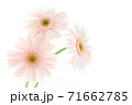 淡いピンクのガーベラ 71662785