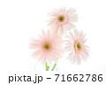 淡いピンクのガーベラ 71662786