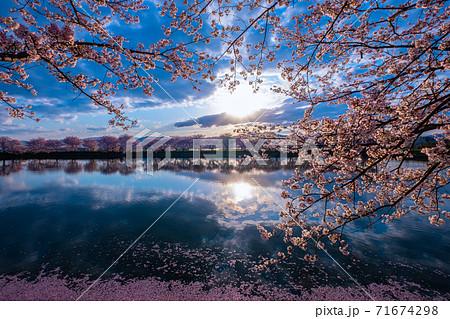 唐古・鍵遺跡の桜 71674298