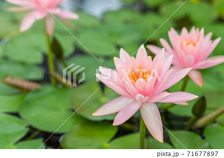 ピンク色の蓮の花の正面| lotus flower  71677897