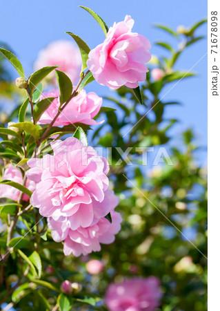 晴れた日の青空をバックに撮った山茶花、サザンカ 71678098