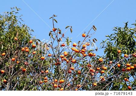 秋の実り:渋柿:柿の実:山田池公園 71679143
