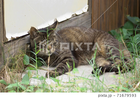 物置小屋の前で寛ぐキジトラ(外猫) 71679593