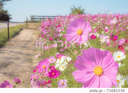 秋の花 コスモスのピンク色の花畑と青空 71681536