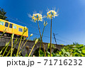 三重県いなべ市 北勢線のめがね橋を通り過ぎる黄色い電車と白い彼岸花 71716232
