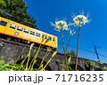 三重県いなべ市 北勢線のめがね橋を通り過ぎる黄色い電車と白い彼岸花 71716235