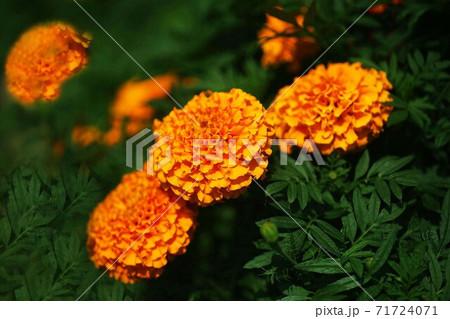 アフリカンマリーゴールド オレンジ色の花 71724071