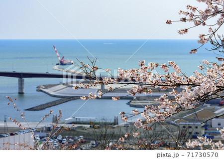 桜 宮城県石巻市 日和山公園からの眺望 71730570