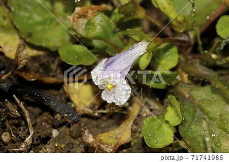朝露のついたムラサキサギゴケの花 71741986