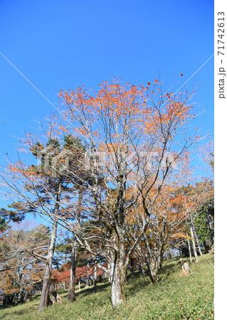 正木ヶ原 トウヒの森の紅葉カエデ 71742613