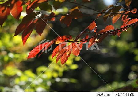鮮やかなシラキの紅葉 11月撮影 71744339