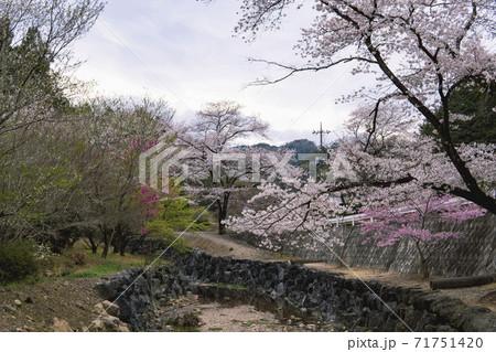 宿谷川沿いにサクラが咲く風景/埼玉県入間郡毛呂山町 71751420