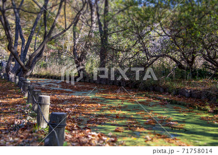 静けさの水元公園に落ち葉が舞い散る小川 71758014