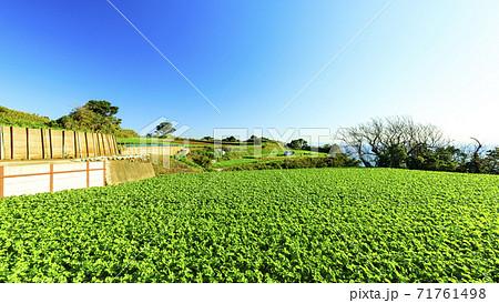 湘南三浦半島の名産神奈川県三浦市の大根畑(冬) 71761498