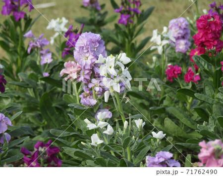 ストックの白色と薄紫色と赤色の花 71762490