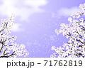 桜 桜吹雪 紫 71762819