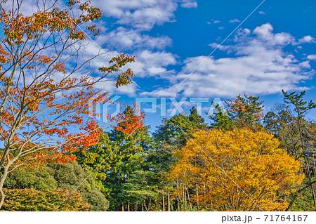常緑樹の手前にある公園樹の紅葉と白い雲が浮かぶ青空 71764167