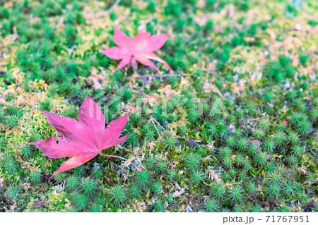 苔の上に落ちた真っ赤な1枚の落ち葉 71767951