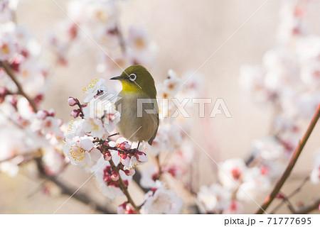 梅の花とメジロ 71777695