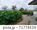 近江妙連(多数の花弁がある蓮) 71778539