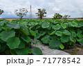 近江妙連(多数の花弁がある蓮) 71778542