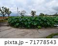 近江妙連(多数の花弁がある蓮) 71778543