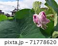 近江妙連(多数の花弁がある蓮) 71778620