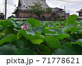 近江妙連(多数の花弁がある蓮) 71778621