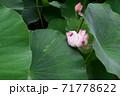 近江妙連(多数の花弁がある蓮) 71778622