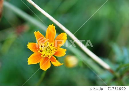 花弁が薄茶色に変わった黄花コスモス 71781090