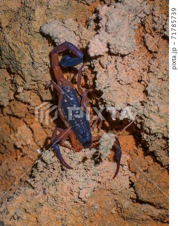 夜の闇に潜む蠍 (カオソック国立公園、スラーターニー県、タイ王国) 71785739