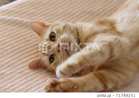 寝転んで両手を前に出す猫アメリカンショートヘアレッドタビー 71789251