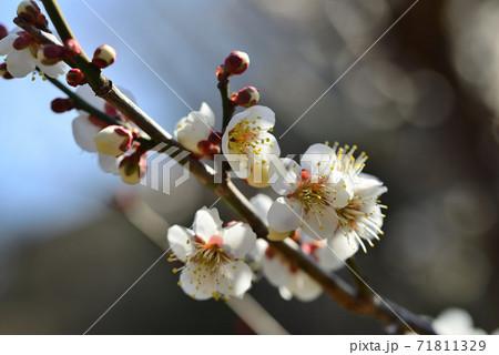 早春の梅林園に咲いた梅 71811329