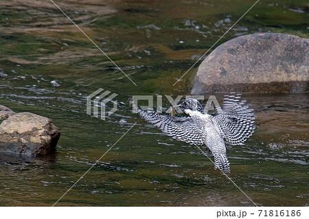 魚を捕まえて岩に飛びつこうとするヤマセミの後ろ姿 71816186