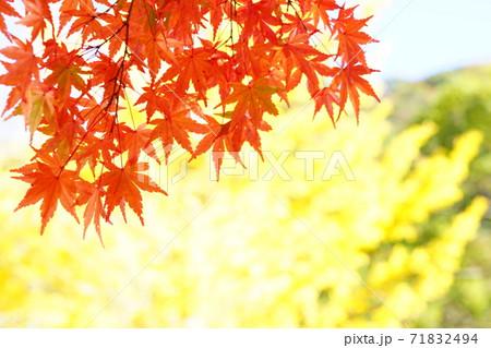 真っ赤に紅葉したモミジの葉と黄色いイチョウの葉 71832494