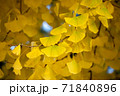 黄金のイチョウ 71840896