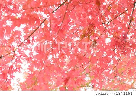晩秋の大空に透きとおる紅の葉たち 71841161