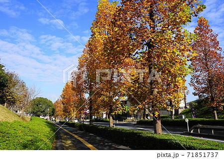 11月 稲城384プラタナス並木の紅葉・向陽台(無電柱化) 71851737