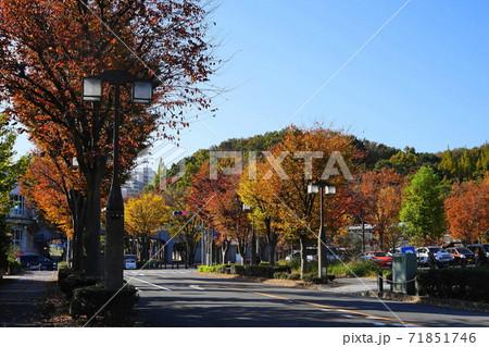 11月 稲城375ケヤキ並木の紅葉・向陽台(無電柱化) 71851746