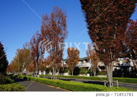 11月 稲城340ポプラ並木の紅葉・若葉台(無電柱化) 71851781